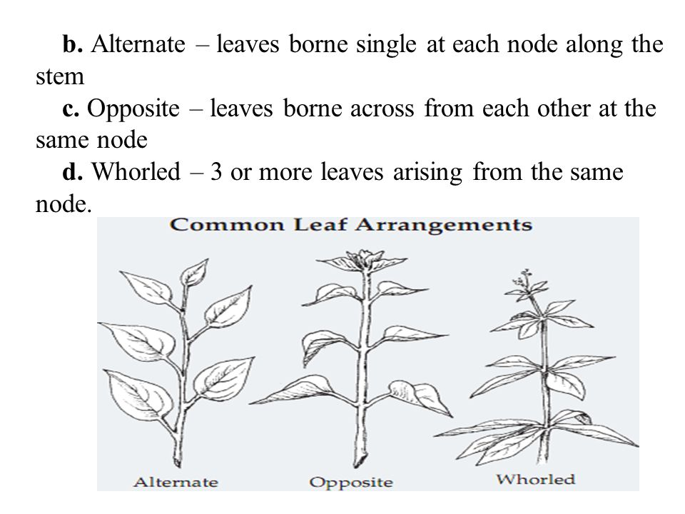 b. Alternate – leaves borne single at each node along the stem c. Opposite – leaves borne across from each other at the same node d. Whorled – 3 or mo