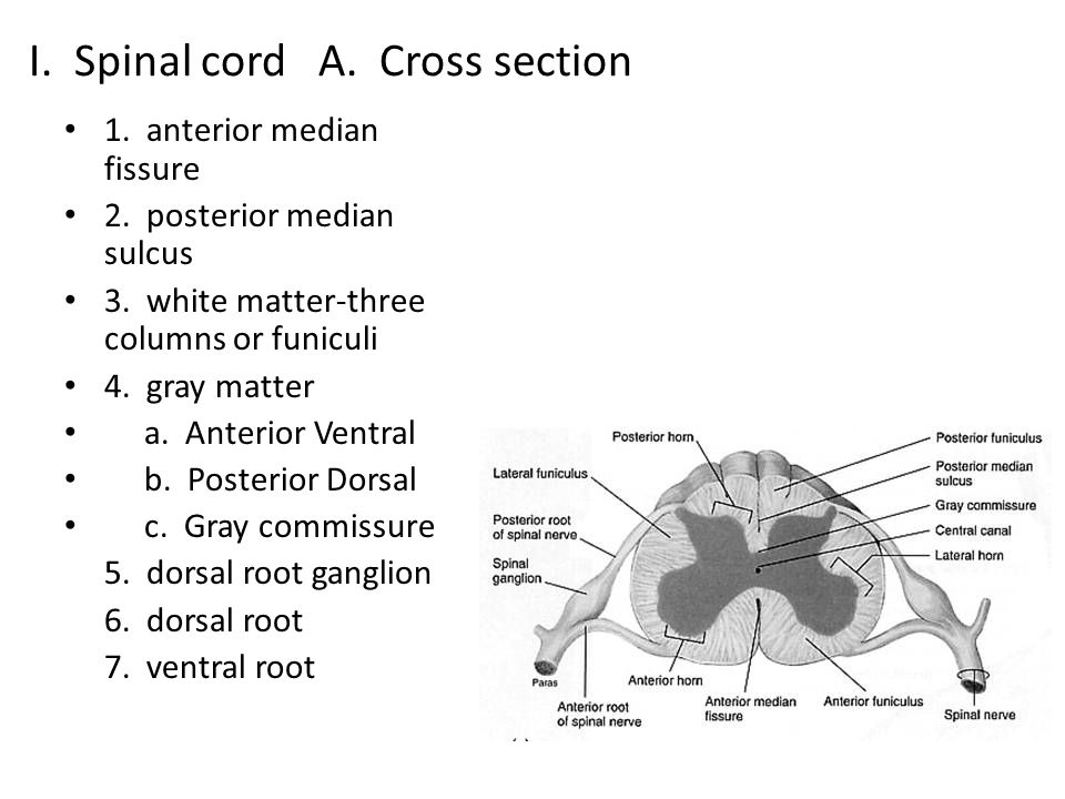 I. Spinal cord A. Cross section 1. anterior median fissure 2. posterior median sulcus 3. white matter-three columns or funiculi 4. gray matter a. Ante