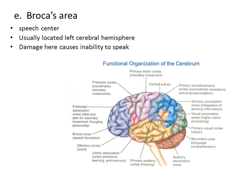 e. Broca's area speech center Usually located left cerebral hemisphere Damage here causes inability to speak