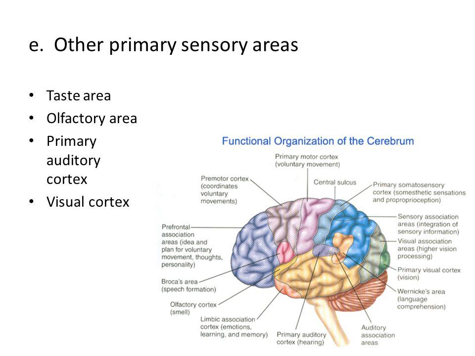 e. Other primary sensory areas Taste area Olfactory area Primary auditory cortex Visual cortex