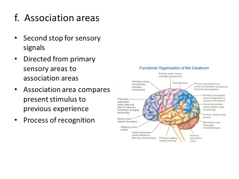 f. Association areas Second stop for sensory signals Directed from primary sensory areas to association areas Association area compares present stimul