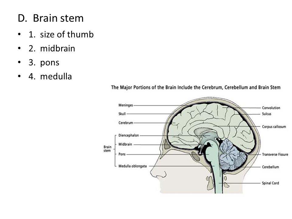 D. Brain stem 1. size of thumb 2. midbrain 3. pons 4. medulla