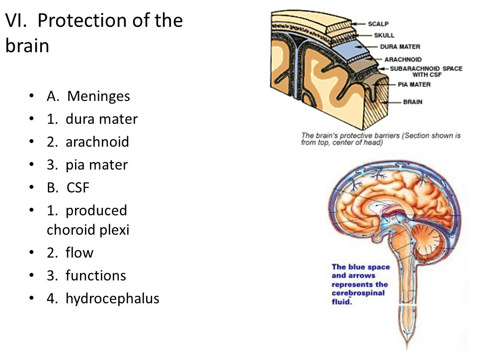 VI. Protection of the brain A. Meninges 1. dura mater 2. arachnoid 3. pia mater B. CSF 1. produced choroid plexi 2. flow 3. functions 4. hydrocephalus