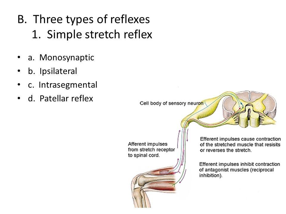 B. Three types of reflexes 1. Simple stretch reflex a. Monosynaptic b. Ipsilateral c. Intrasegmental d. Patellar reflex