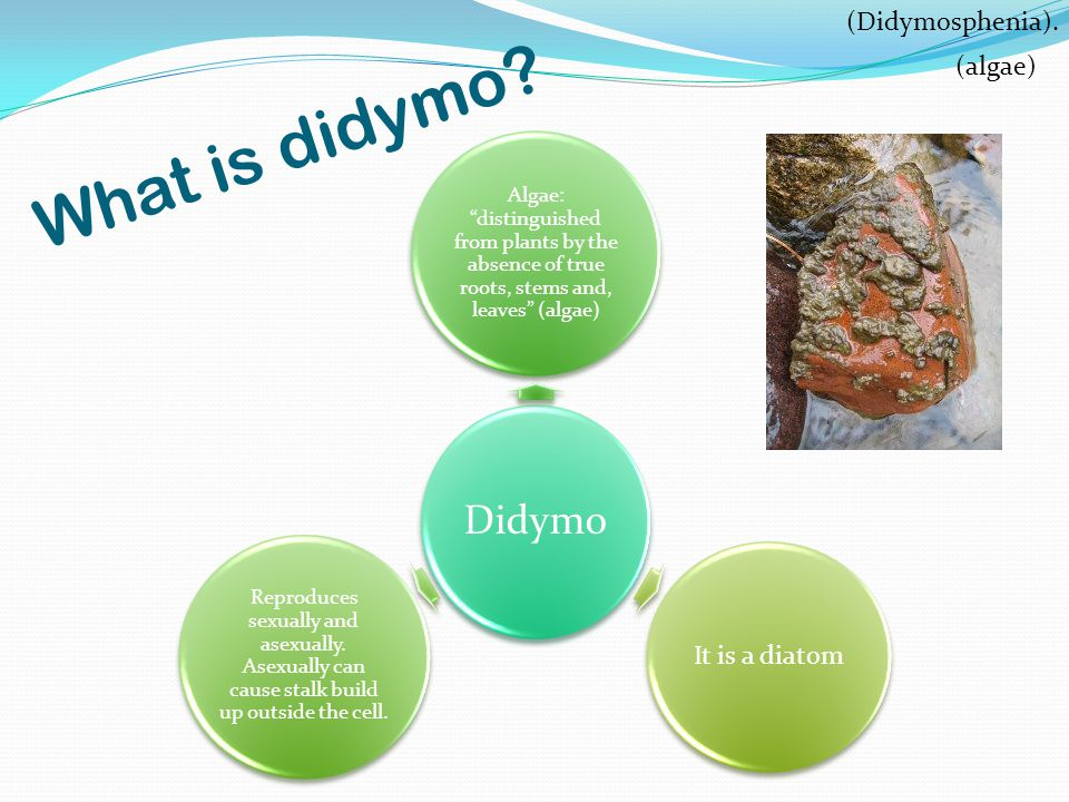 What is didymo.
