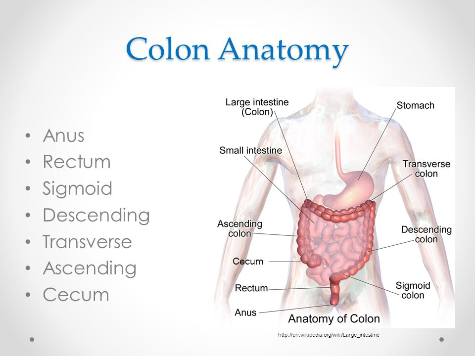 Colon Anatomy Anus Rectum Sigmoid Descending Transverse Ascending Cecum http://en.wikipedia.org/wiki/Large_intestine Cecum