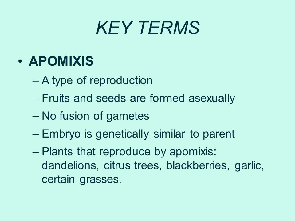 KEY TERMS APOMIXIS –A type of reproduction –Fruits and seeds are formed asexually –No fusion of gametes –Embryo is genetically similar to parent –Plan
