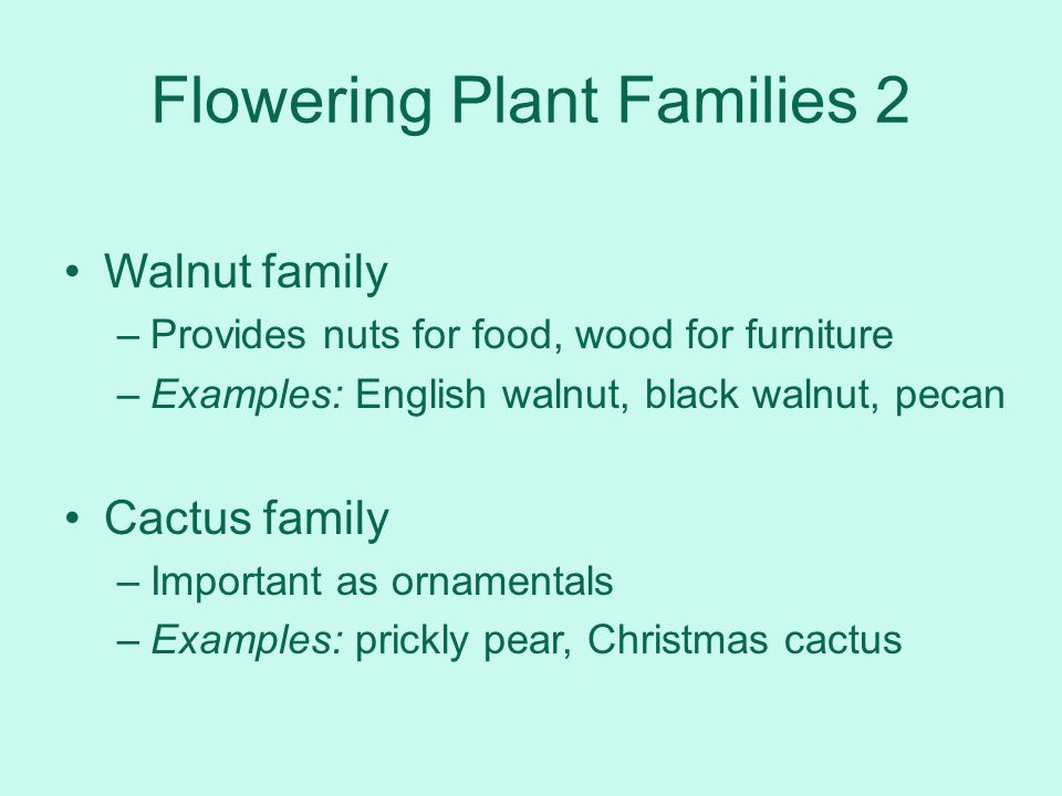 Flowering Plant Families 2 Walnut family –Provides nuts for food, wood for furniture –Examples: English walnut, black walnut, pecan Cactus family –Imp