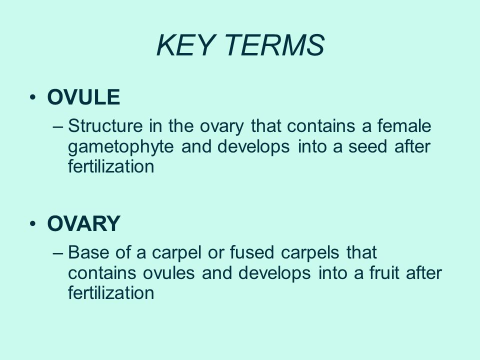 KEY TERMS OVULE –Structure in the ovary that contains a female gametophyte and develops into a seed after fertilization OVARY –Base of a carpel or fus