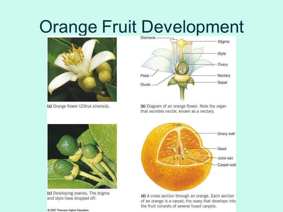 Orange Fruit Development