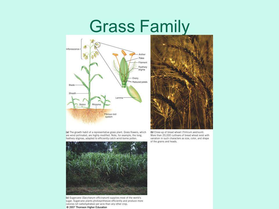 Grass Family