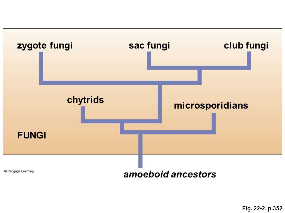 Fig. 22-2, p.352 microsporidians FUNGI amoeboid ancestors zygote fungisac fungiclub fungi chytrids