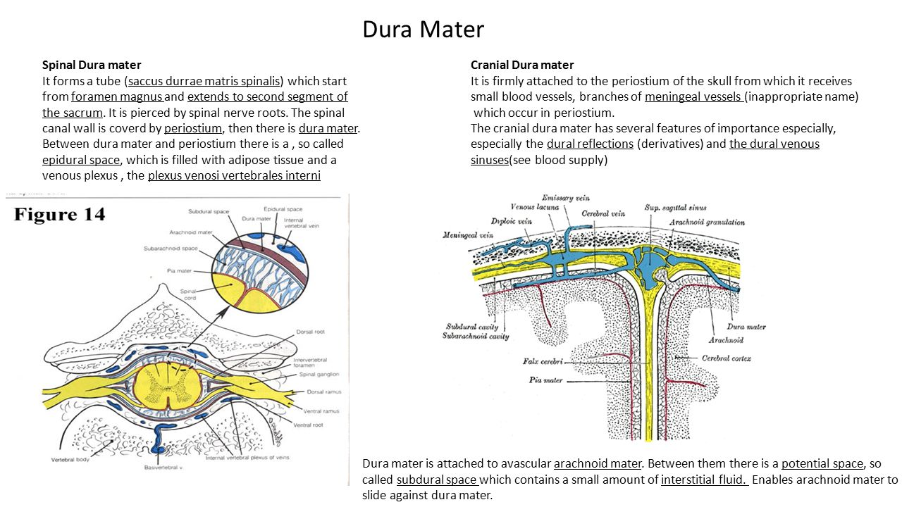 Dura Mater Spinal Dura mater It forms a tube (saccus durrae matris spinalis) which start from foramen magnus and extends to second segment of the sacr