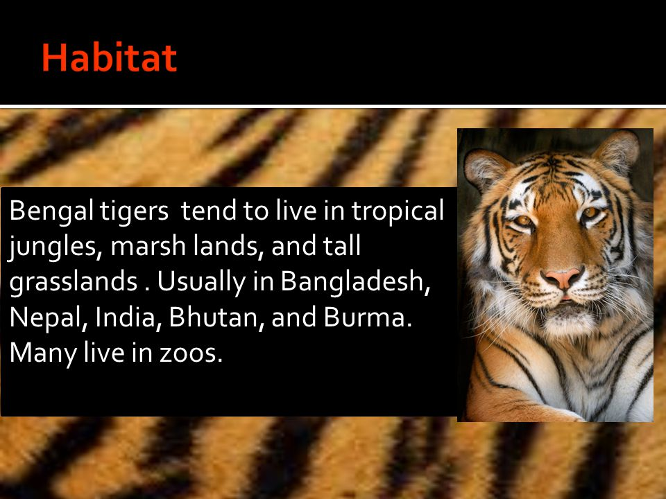 Bengal tigers tend to live in tropical jungles, marsh lands, and tall grasslands.