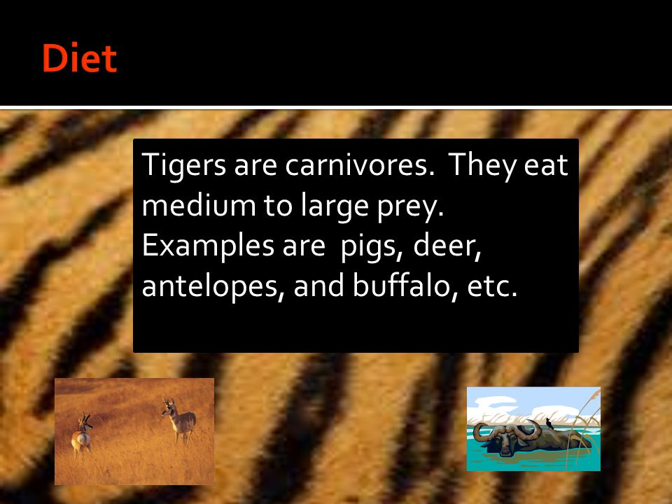 Tigers are carnivores. They eat medium to large prey.