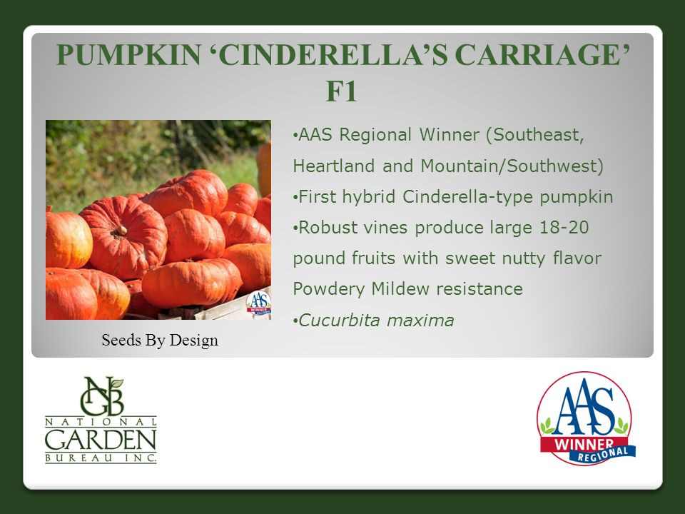 PUMPKIN 'CINDERELLA'S CARRIAGE' F1 Seeds By Design AAS Regional Winner (Southeast, Heartland and Mountain/Southwest) First hybrid Cinderella-type pumpkin Robust vines produce large 18-20 pound fruits with sweet nutty flavor Powdery Mildew resistance Cucurbita maxima