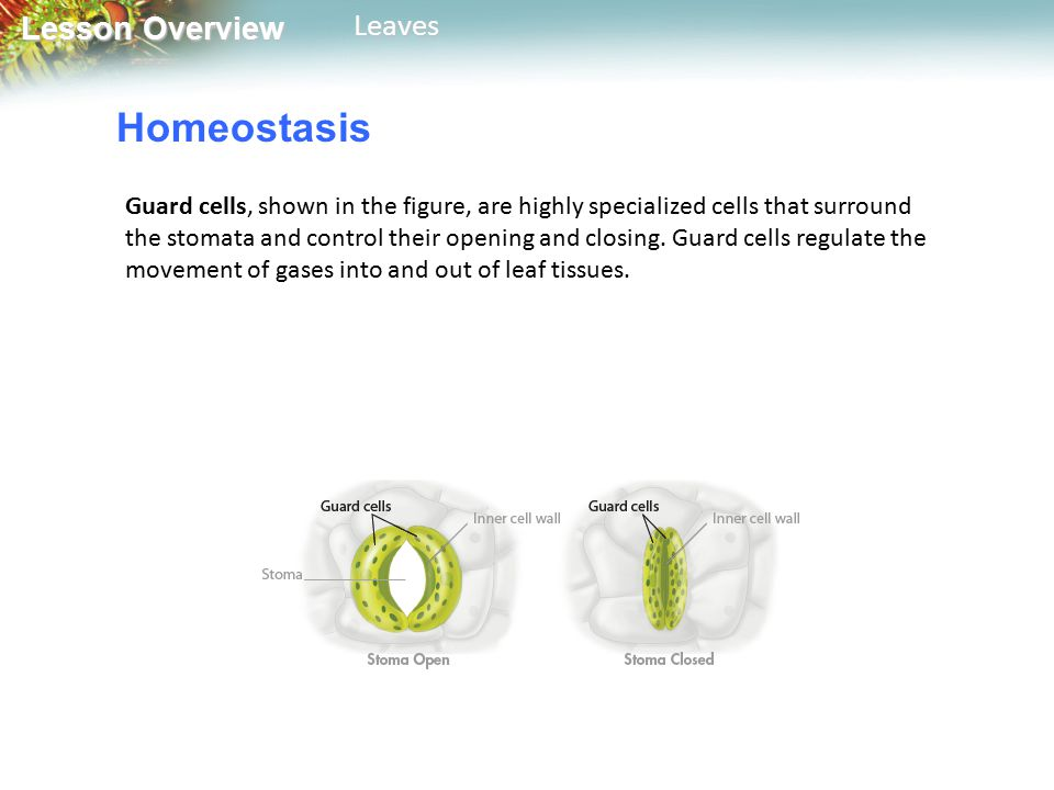Lesson Overview Lesson OverviewLeaves Homeostasis Guard cells, shown in the figure, are highly specialized cells that surround the stomata and control their opening and closing.