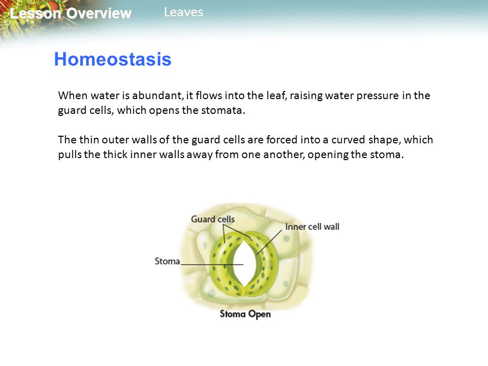 Lesson Overview Lesson OverviewLeaves Homeostasis When water is abundant, it flows into the leaf, raising water pressure in the guard cells, which opens the stomata.