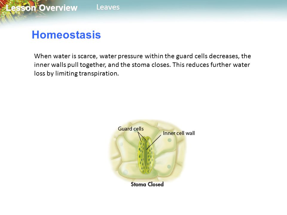 Lesson Overview Lesson OverviewLeaves Homeostasis When water is scarce, water pressure within the guard cells decreases, the inner walls pull together, and the stoma closes.