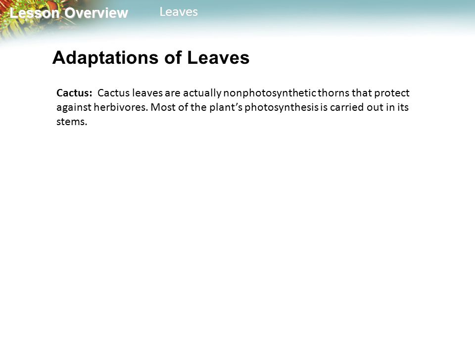 Lesson Overview Lesson OverviewLeaves Adaptations of Leaves Cactus: Cactus leaves are actually nonphotosynthetic thorns that protect against herbivores.