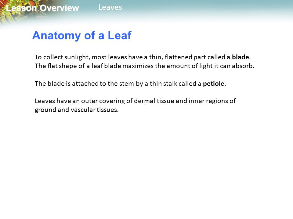 Lesson Overview Lesson OverviewLeaves Anatomy of a Leaf To collect sunlight, most leaves have a thin, flattened part called a blade.