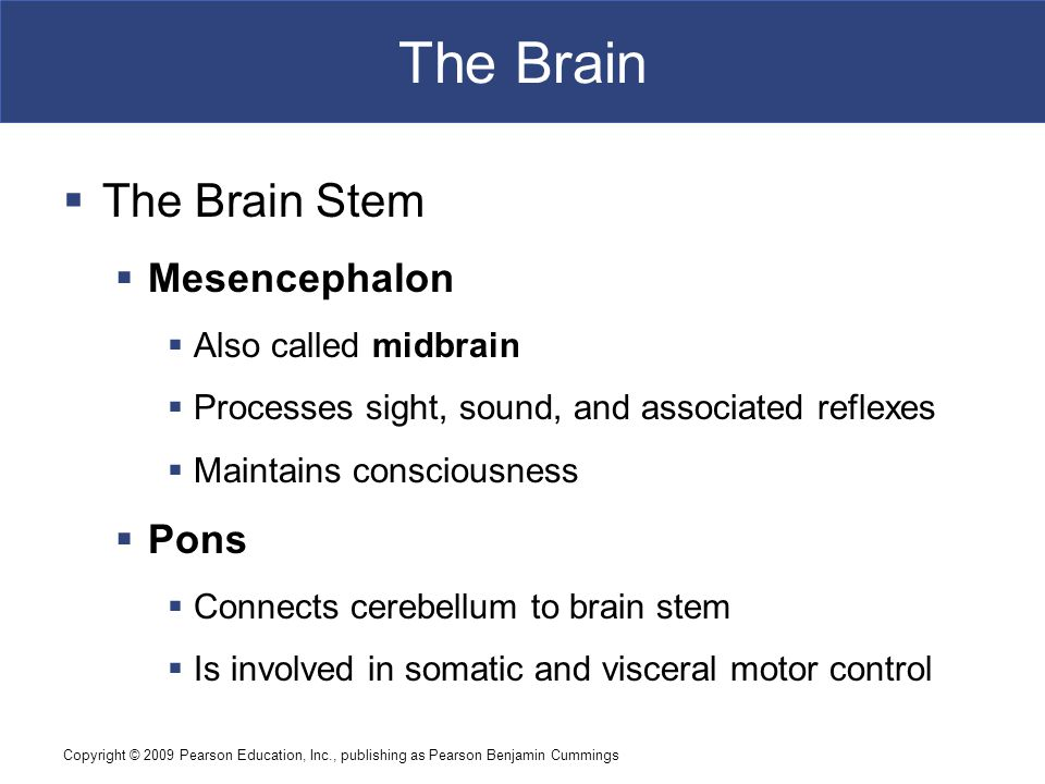 Copyright © 2009 Pearson Education, Inc., publishing as Pearson Benjamin Cummings The Brain  The Brain Stem  Mesencephalon  Also called midbrain  Processes sight, sound, and associated reflexes  Maintains consciousness  Pons  Connects cerebellum to brain stem  Is involved in somatic and visceral motor control