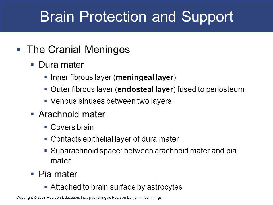Copyright © 2009 Pearson Education, Inc., publishing as Pearson Benjamin Cummings Brain Protection and Support  The Cranial Meninges  Dura mater  Inner fibrous layer (meningeal layer)  Outer fibrous layer (endosteal layer) fused to periosteum  Venous sinuses between two layers  Arachnoid mater  Covers brain  Contacts epithelial layer of dura mater  Subarachnoid space: between arachnoid mater and pia mater  Pia mater  Attached to brain surface by astrocytes