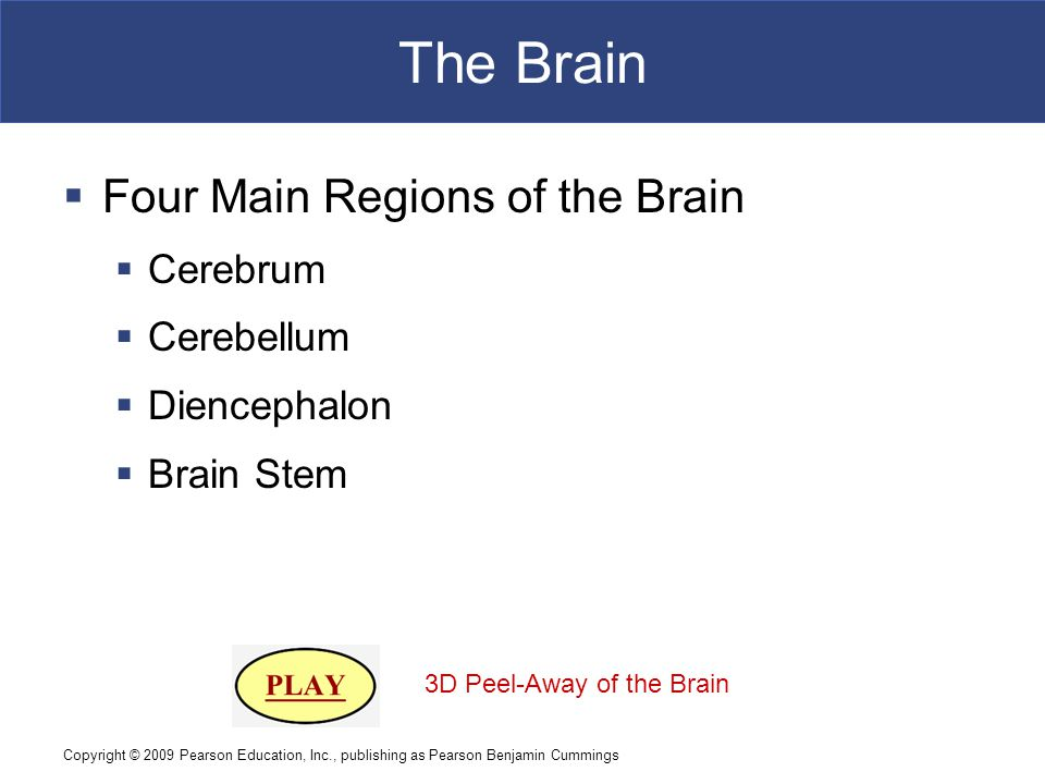 Copyright © 2009 Pearson Education, Inc., publishing as Pearson Benjamin Cummings The Brain  Four Main Regions of the Brain  Cerebrum  Cerebellum  Diencephalon  Brain Stem 3D Peel-Away of the Brain