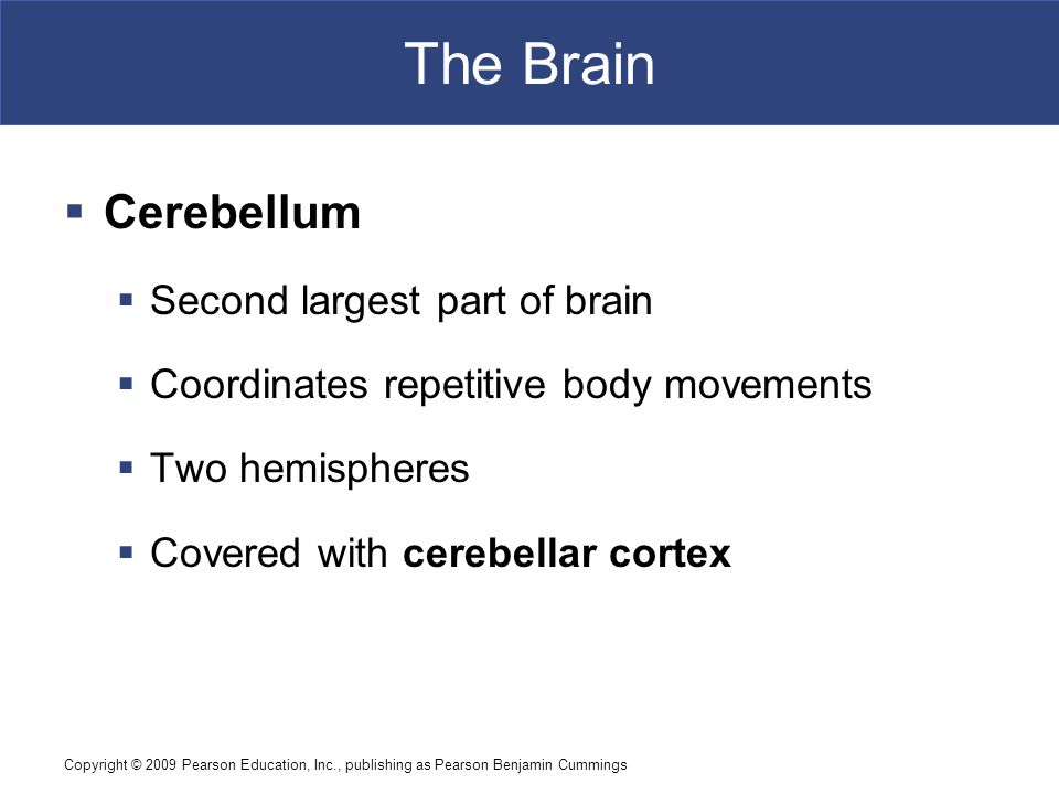 Copyright © 2009 Pearson Education, Inc., publishing as Pearson Benjamin Cummings The Brain  Cerebellum  Second largest part of brain  Coordinates repetitive body movements  Two hemispheres  Covered with cerebellar cortex