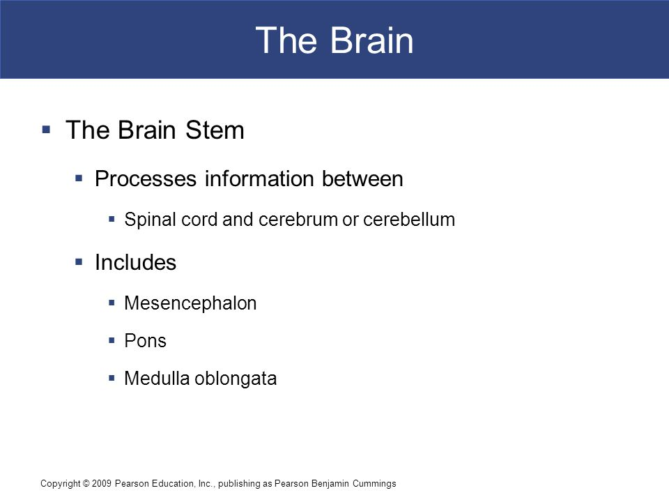 Copyright © 2009 Pearson Education, Inc., publishing as Pearson Benjamin Cummings The Brain  The Brain Stem  Processes information between  Spinal cord and cerebrum or cerebellum  Includes  Mesencephalon  Pons  Medulla oblongata