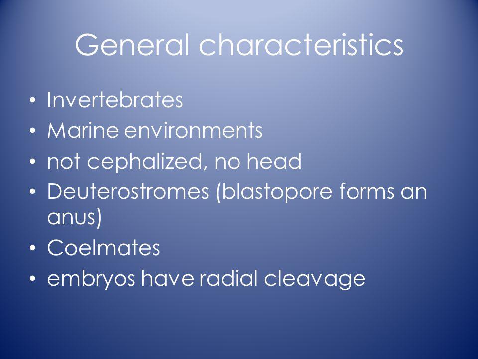 General characteristics Invertebrates Marine environments not cephalized, no head Deuterostromes (blastopore forms an anus) Coelmates embryos have radial cleavage
