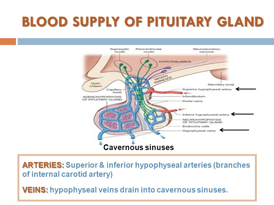 BLOOD SUPPLY OF PITUITARY GLAND ARTERIES: ARTERIES: Superior & inferior hypophyseal arteries (branches of internal carotid artery) VEINS: VEINS: hypophyseal veins drain into cavernous sinuses.