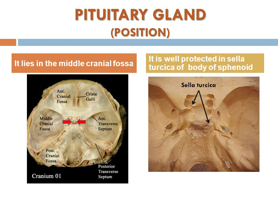 PITUITARY GLAND (POSITION) It lies in the middle cranial fossa It is well protected in sella turcica of body of sphenoid Sella turcica