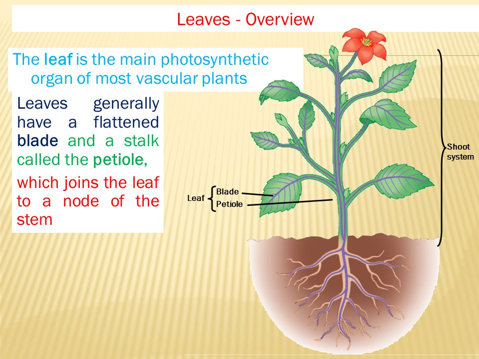 The leaf is the main photosynthetic organ of most vascular plants Leaves - Overview Shoot system Leaf Blade Petiole Leaves generally have a flattened blade and a stalk called the petiole, which joins the leaf to a node of the stem