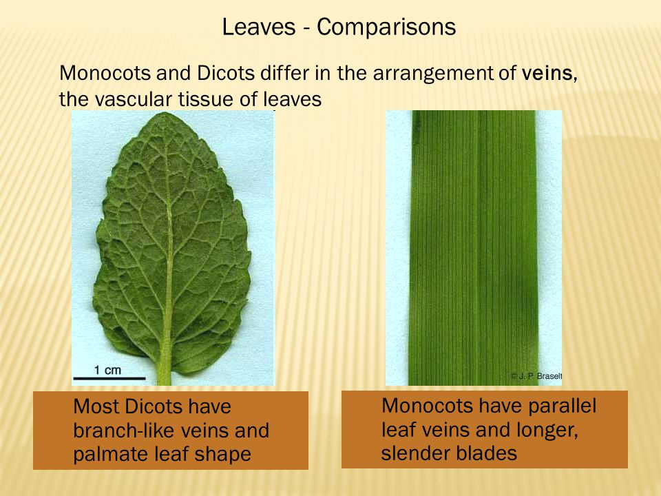 Most Dicots have branch-like veins and palmate leaf shape Monocots have parallel leaf veins and longer, slender blades Leaves - Comparisons Monocots and Dicots differ in the arrangement of veins, the vascular tissue of leaves