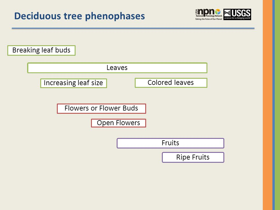 Deciduous tree phenophases Breaking leaf buds Leaves Increasing leaf size Colored leaves Flowers or Flower Buds Open Flowers FruitsRipe Fruits