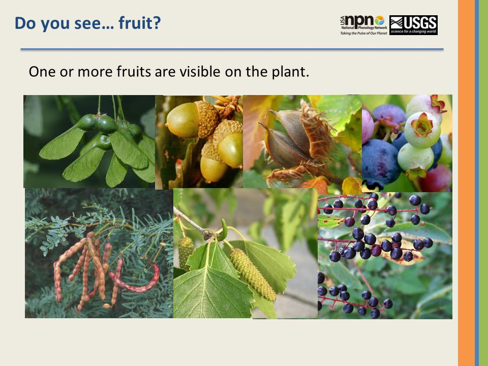 Do you see… fruit One or more fruits are visible on the plant.