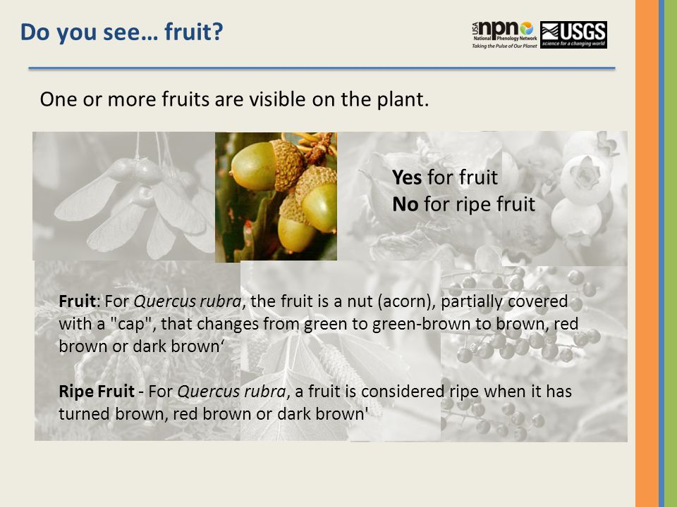 Do you see… fruit. One or more fruits are visible on the plant.