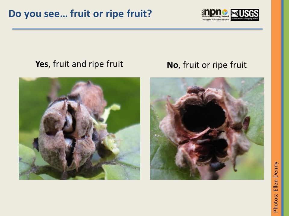 Do you see… recent fruit drop.