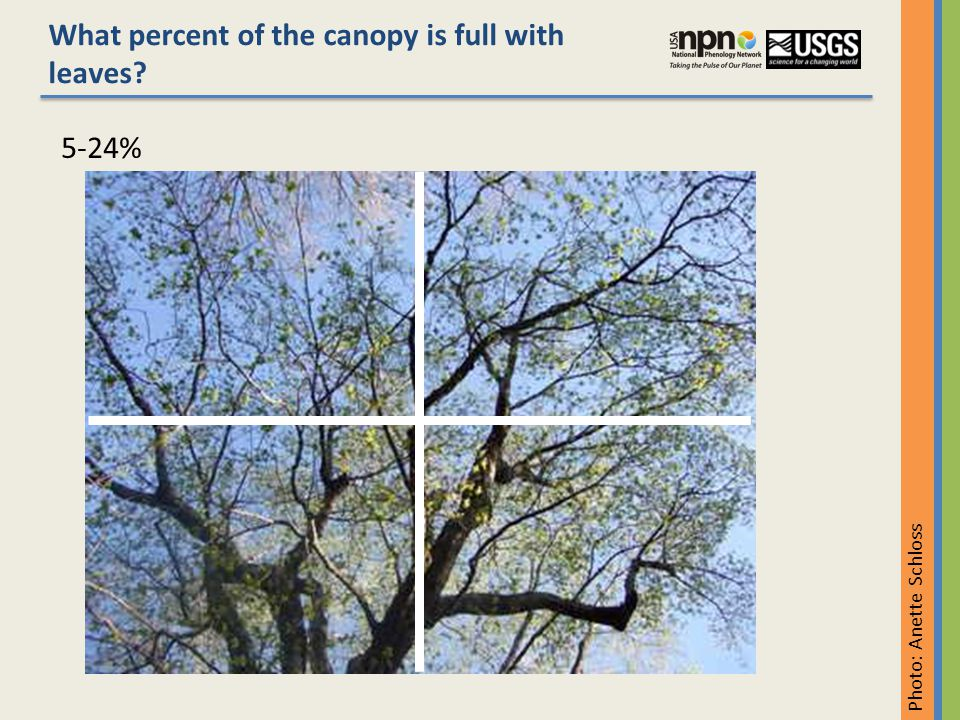 5-24% What percent of the canopy is full with leaves Photo: Anette Schloss