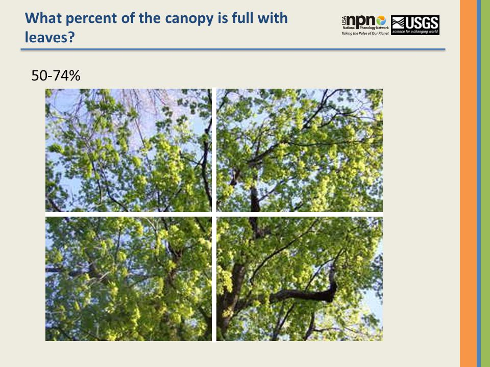 What percent of the canopy is full with leaves 50-74%