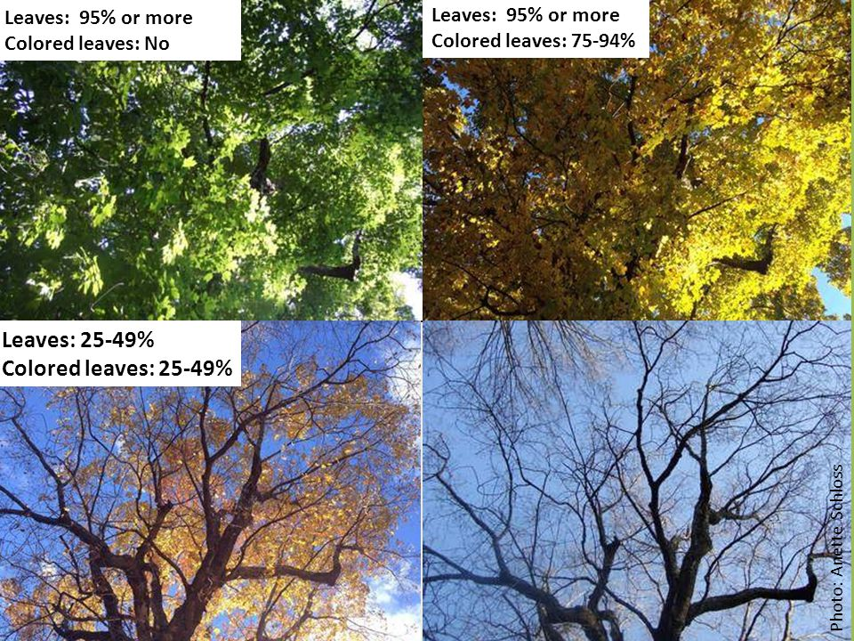 Leaves: 25-49% Colored leaves: 25-49% Leaves: 95% or more Colored leaves: No Photo: Anette Schloss Leaves: 95% or more Colored leaves: 75-94%