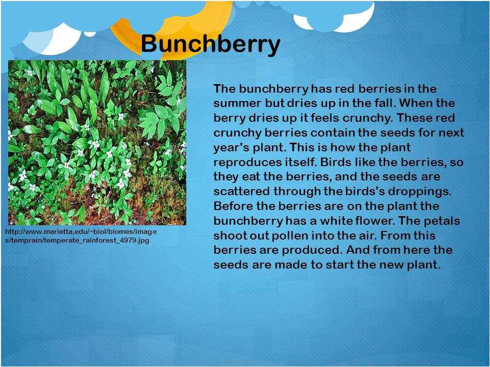 http://www.marietta.edu/~biol/biomes/image s/temprain/temperate_rainforest_4979.jpg Bunchberry The bunchberry has red berries in the summer but dries