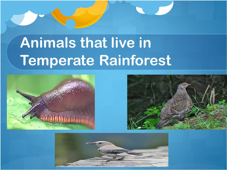 Animals that live in Temperate Rainforest