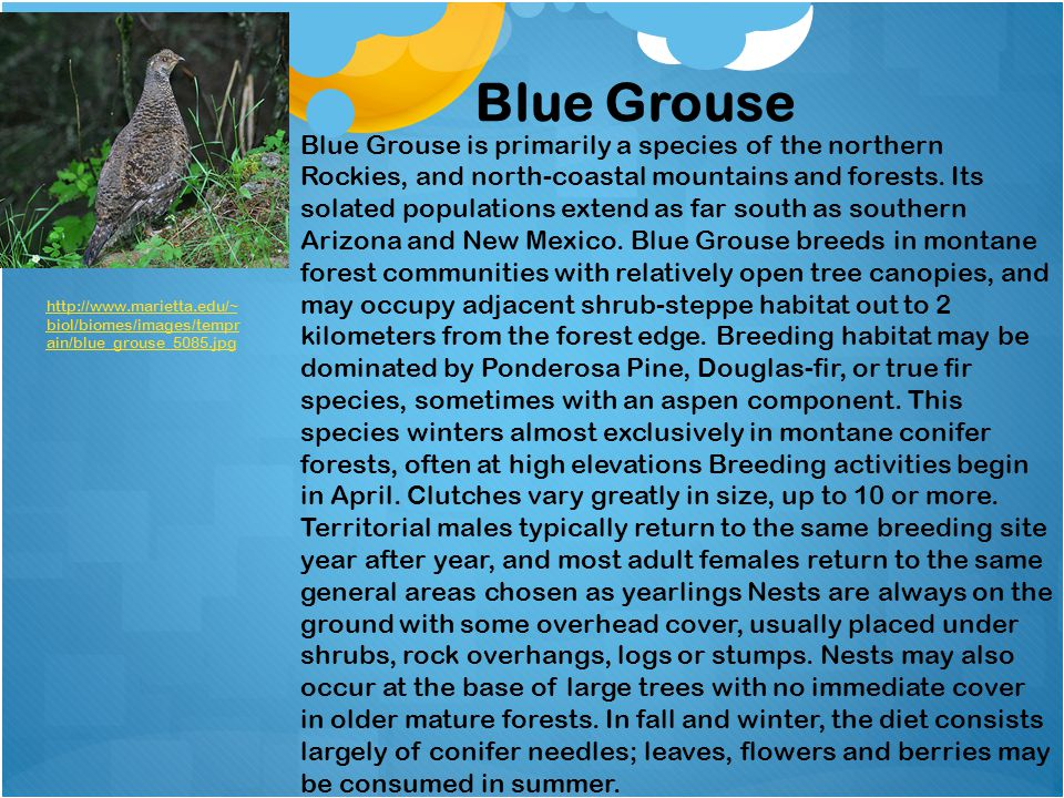 Blue Grouse Blue Grouse is primarily a species of the northern Rockies, and north-coastal mountains and forests. Its solated populations extend as far