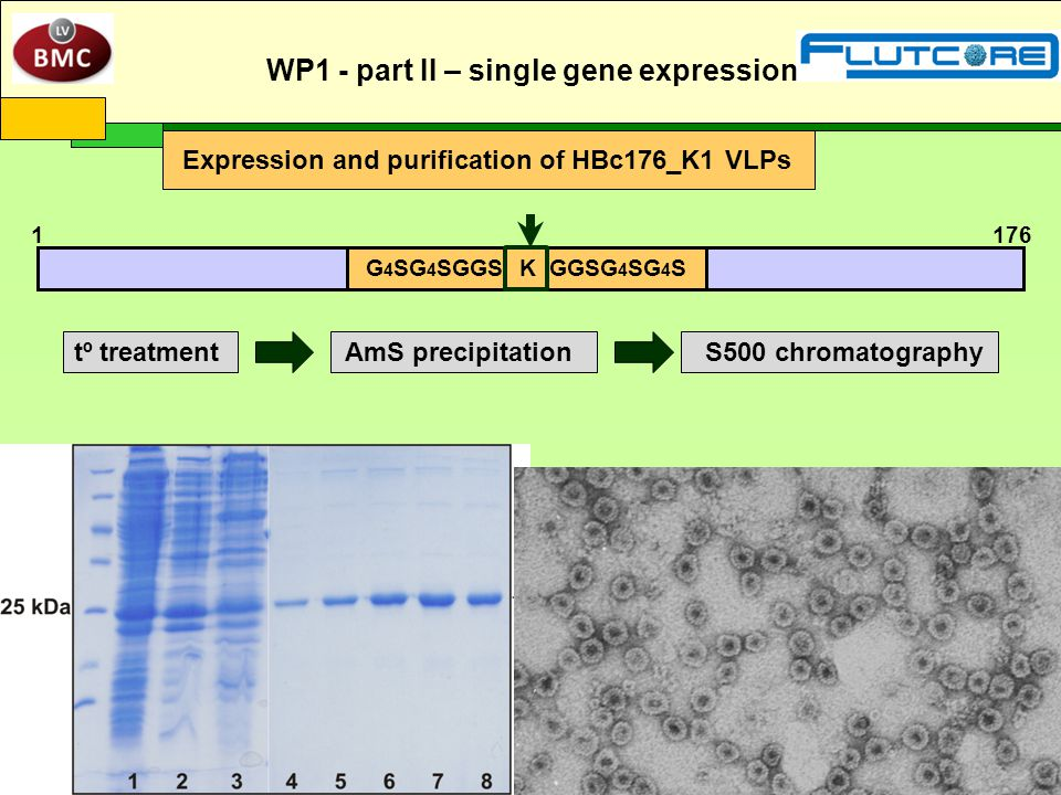Expression and purification of HBc176_K1 VLPs WP1 - part II – single gene expression 1 176 G 4 SG 4 SGGS K GGSG 4 SG 4 S tº treatmentAmS precipitationS500 chromatography