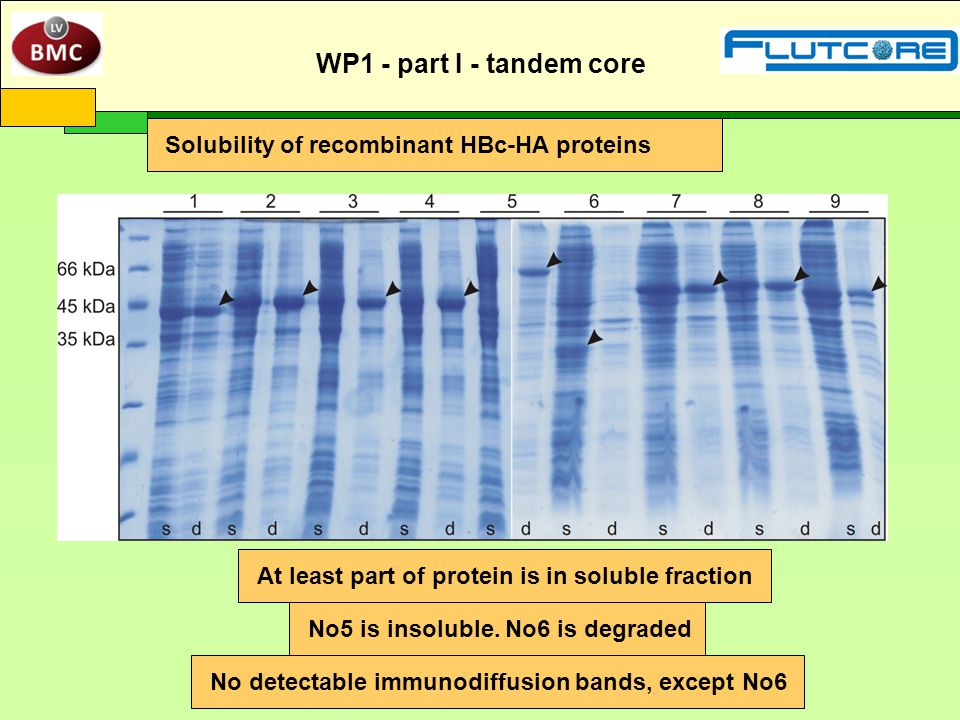 Solubility of recombinant HBc-HA proteins At least part of protein is in soluble fraction No5 is insoluble. No6 is degraded No detectable immunodiffus