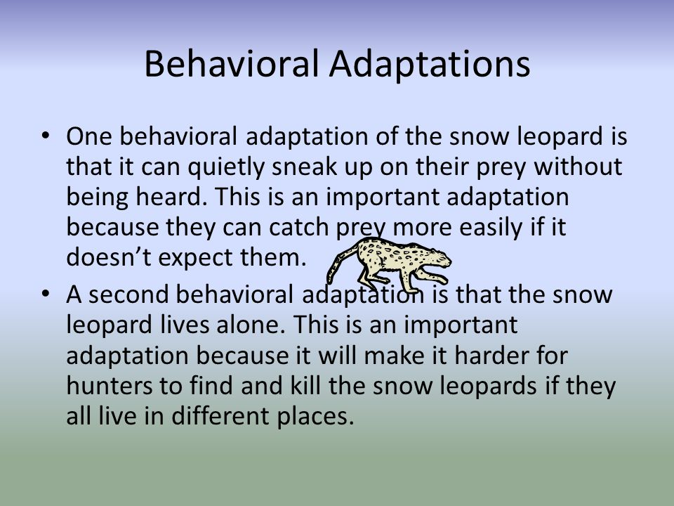 A third behavioral adaptation is the snow leopard wrapping its tail around its face.