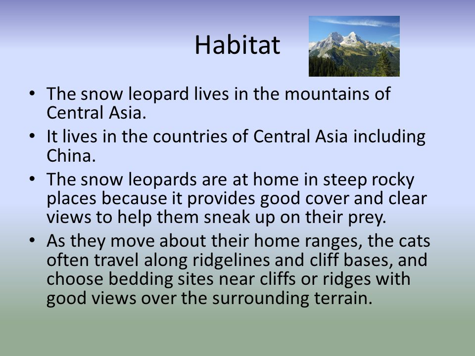 Diet The snow leopard is a carnivore and typically eats wild sheep and goats.