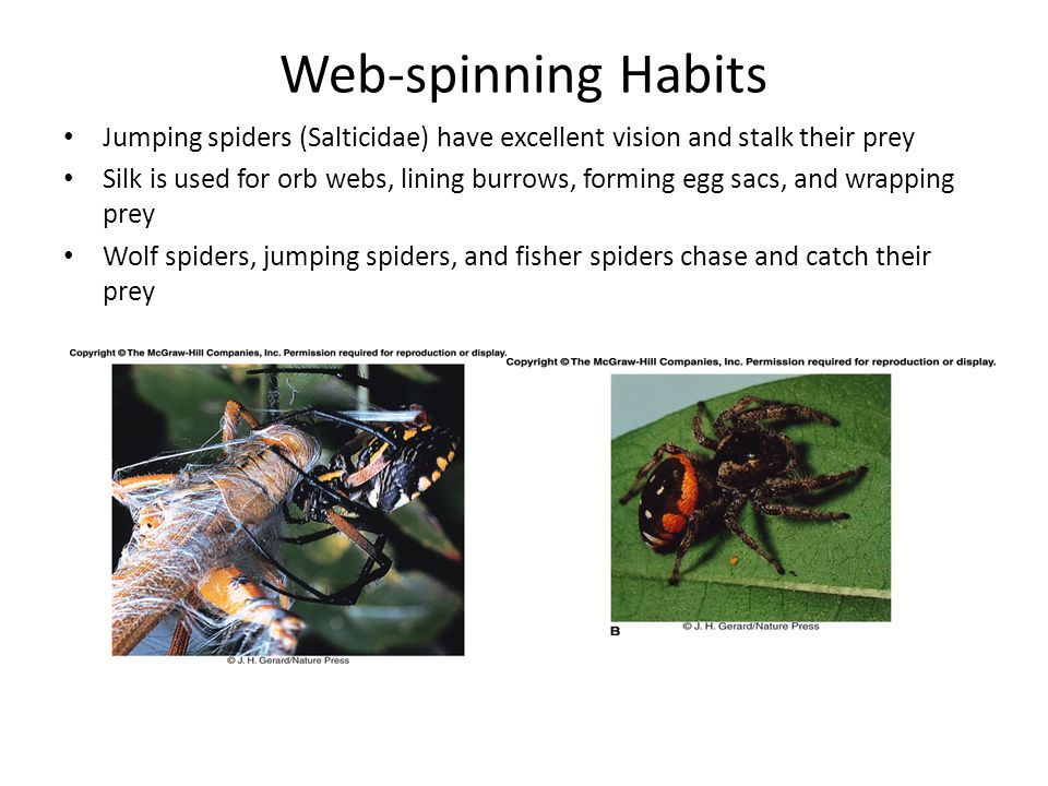 Web-spinning Habits Jumping spiders (Salticidae) have excellent vision and stalk their prey Silk is used for orb webs, lining burrows, forming egg sac